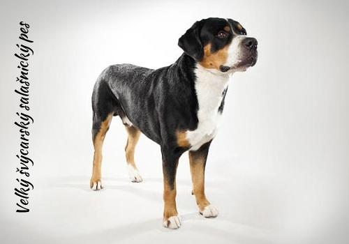 Velky-svycarsky-salasnicky-pes